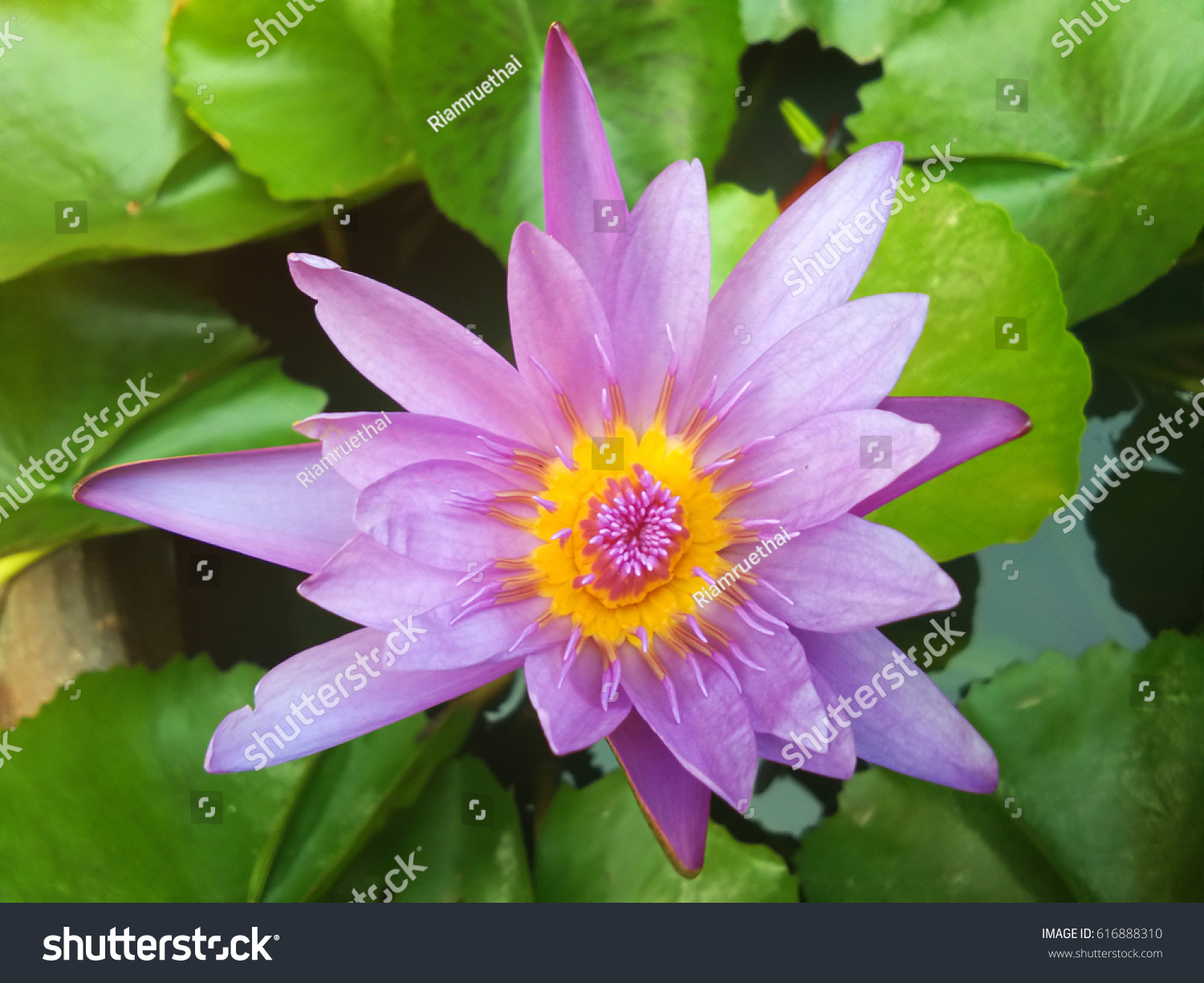 Blossom Lotus Flower In Water Ez Canvas