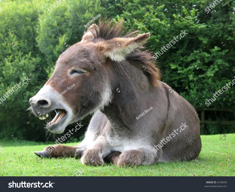 Laughing Donkey Stock Photo 6169093 - Shutterstock - photo#48