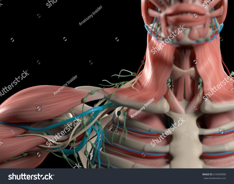Human Anatomy Shoulder Neck Sternum Chest Stock Illustration