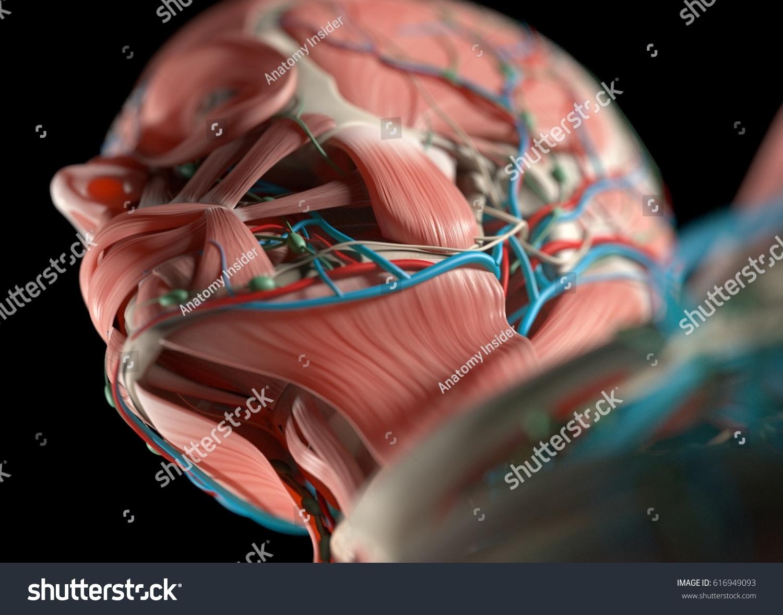 Human jaw anatomy