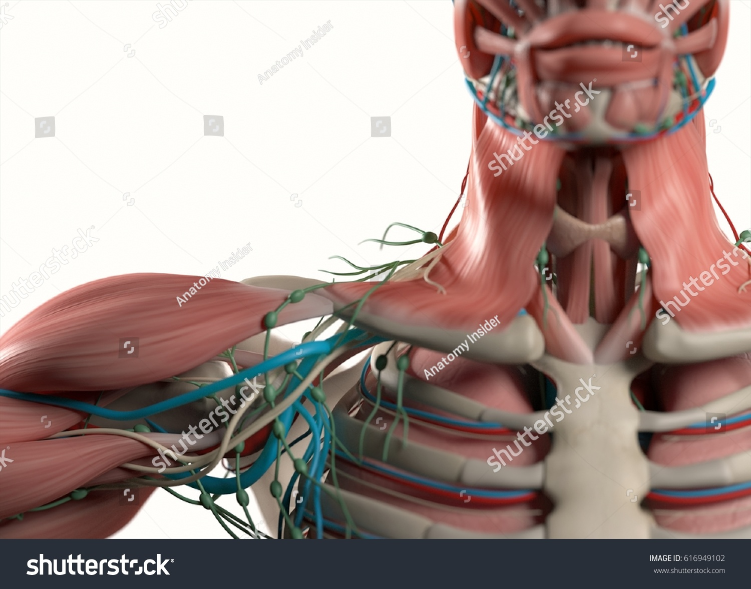 Human Anatomy Shoulder Neck Sternum Chest Stock Illustration