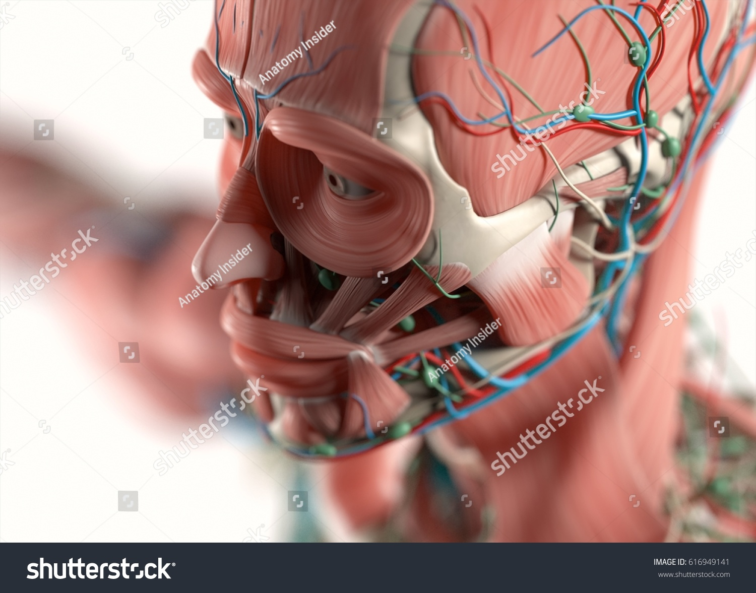 Human Anatomy Face Jawcheek Nose Muscular Stock Illustration ...