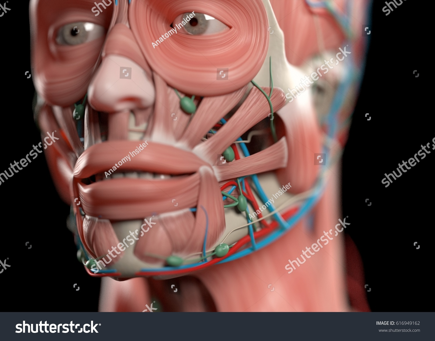 Human Anatomy Face Nose Eyes Lips Muscular Stock Illustration ...