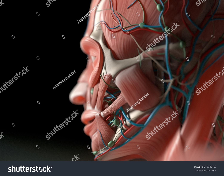 Human Anatomy Face Cheeknose Eyes Lips Stock Illustration 616949168 ...