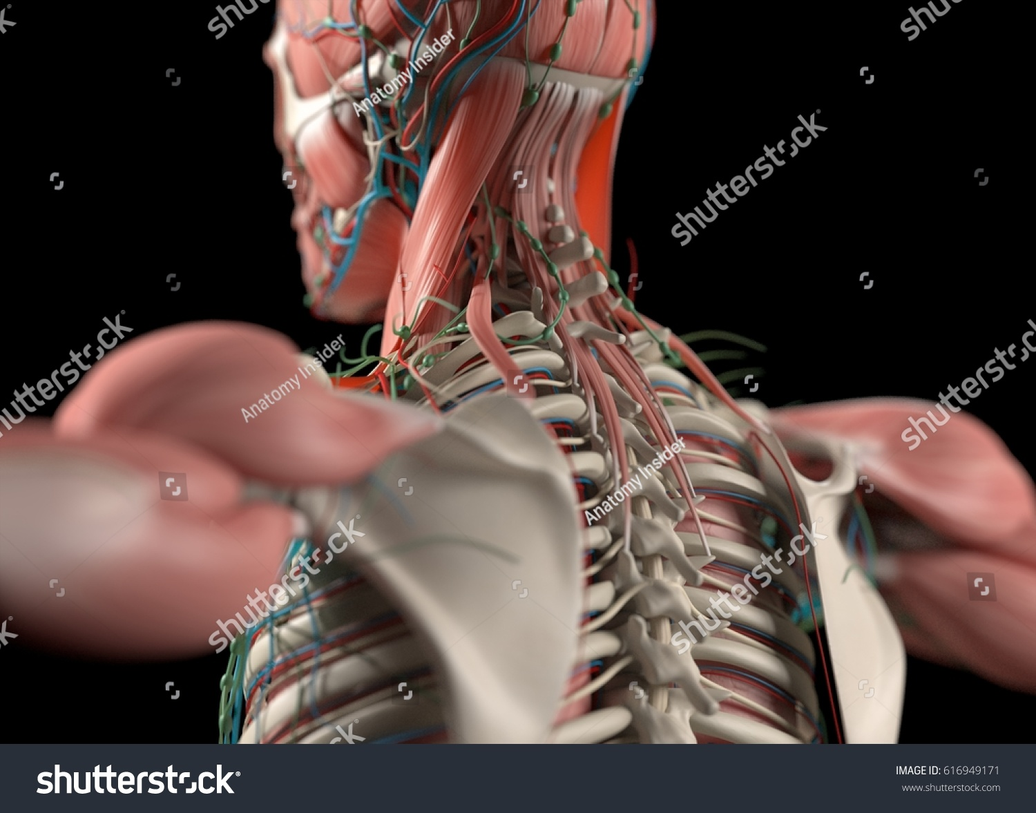 Royalty Free Stock Illustration Of Human Anatomy Back Neck Spine