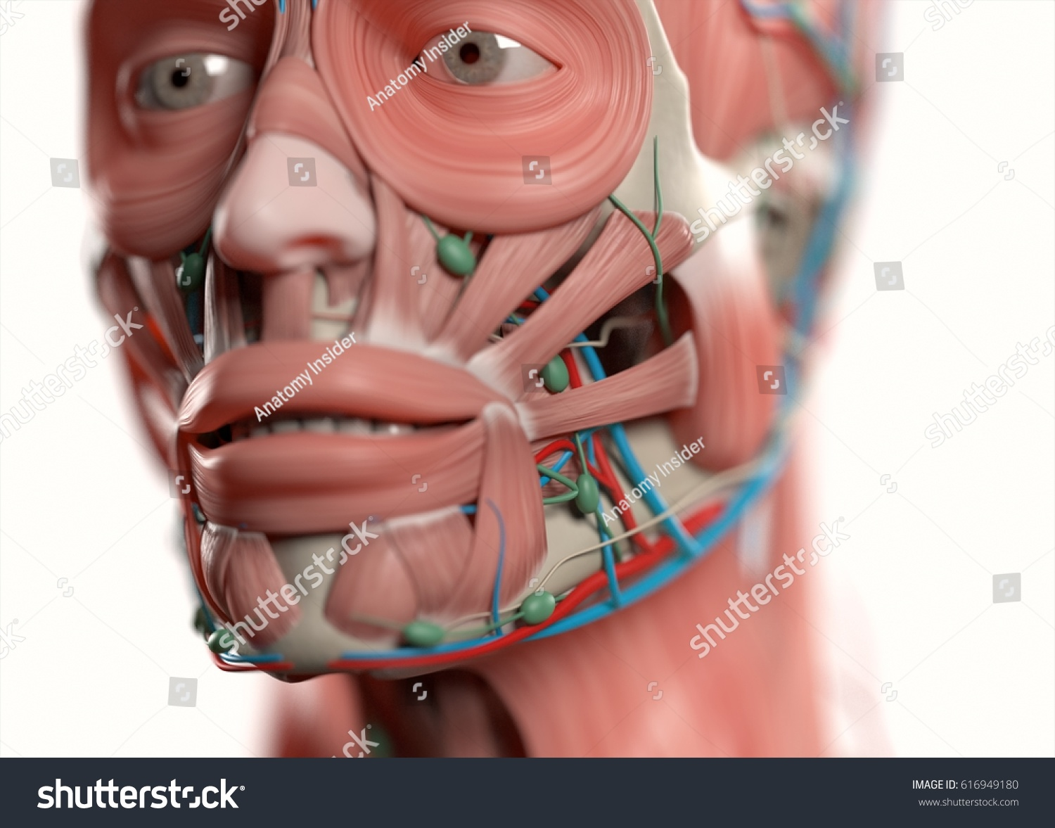 Human Anatomy Face Jaweyes Nose Muscular Stock Illustration ...