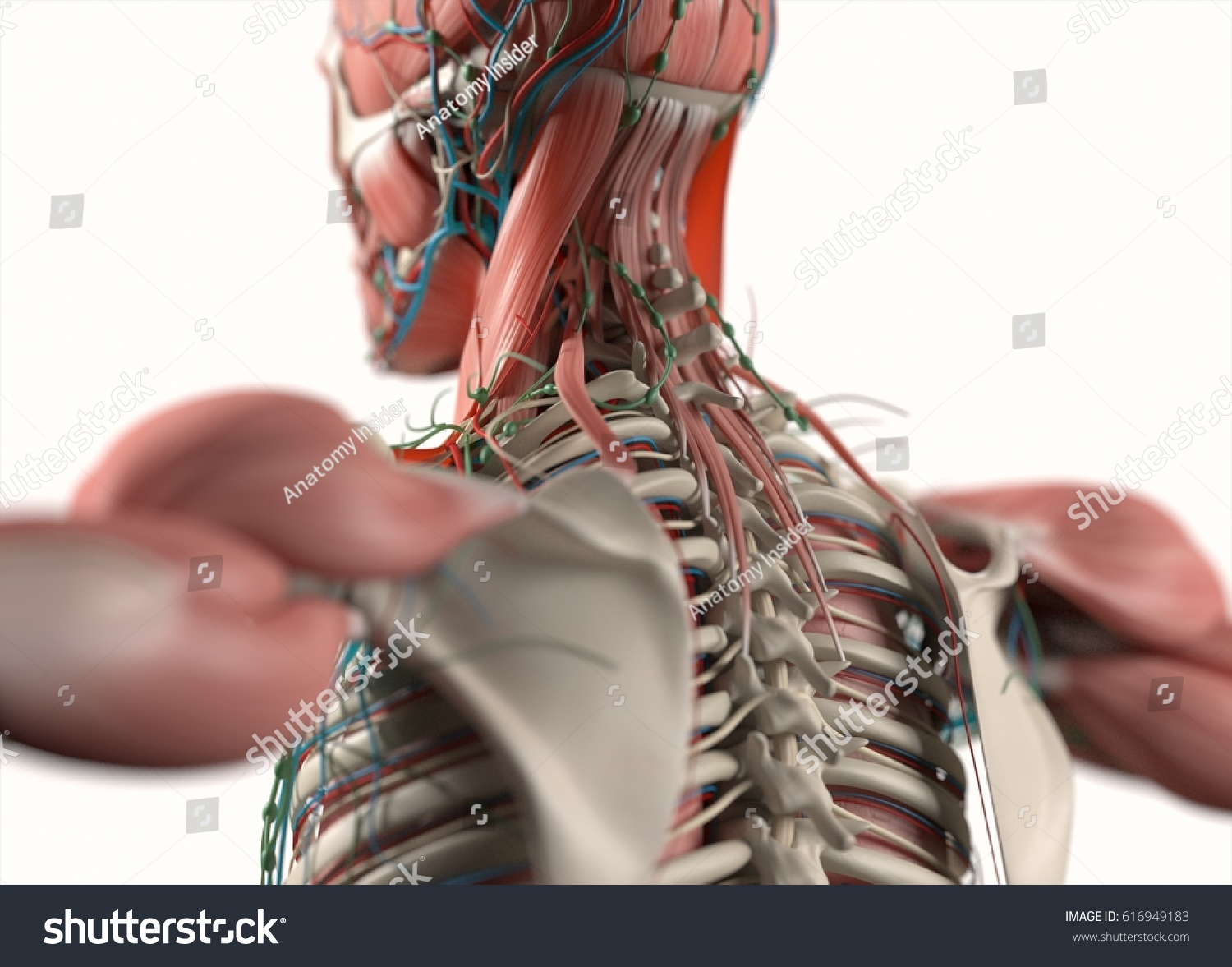 Human Anatomy Spine Scapula Back Neck Stock Illustration 616949183 ...