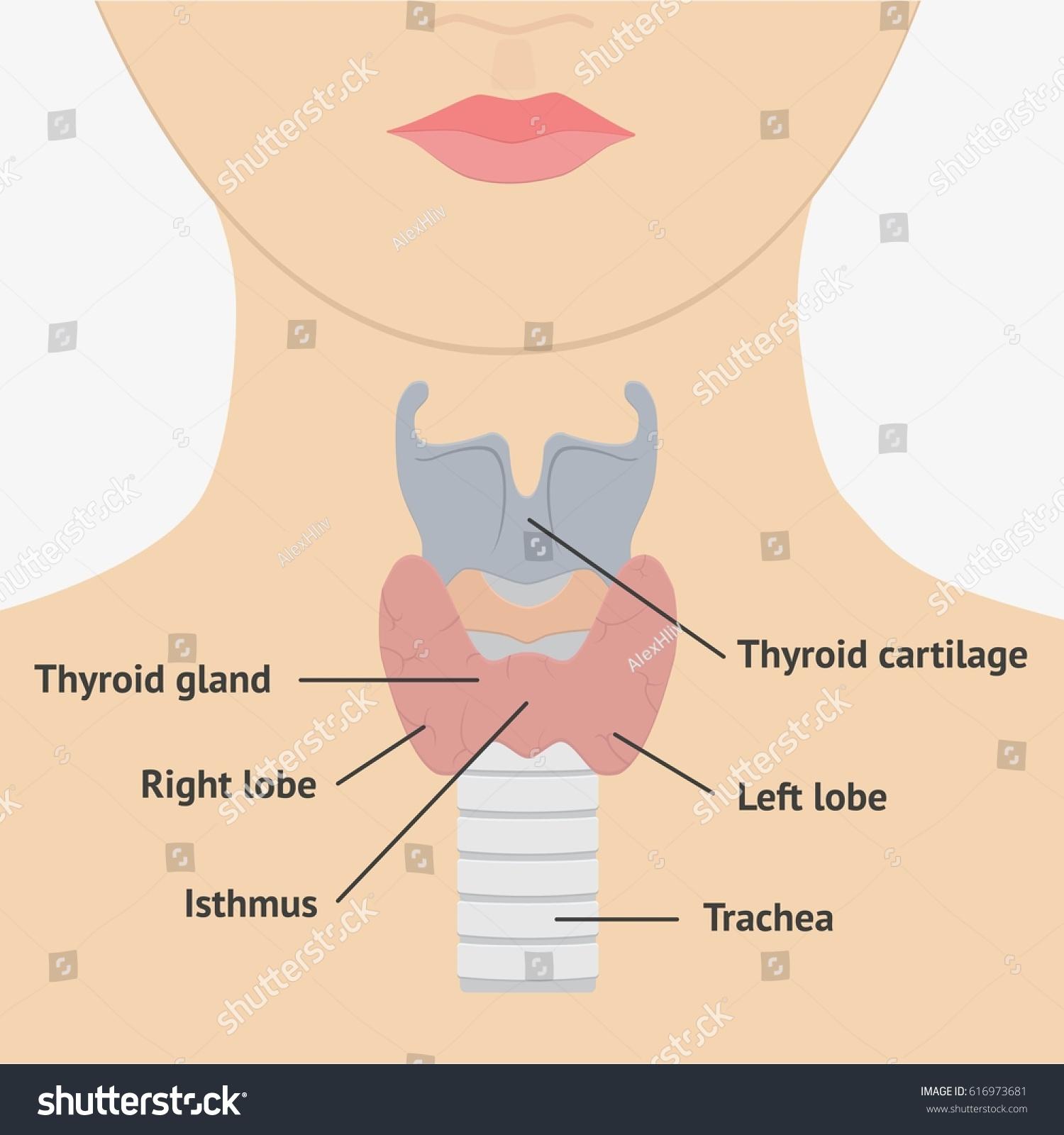 Human Larynx Anatomy Parts Flat Stock Stock Illustration 616973681 ...
