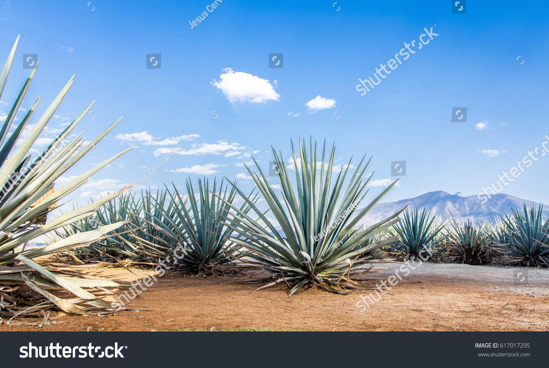 Landscape Planting Agave Plants Produce Tequila Stock Photo Edit