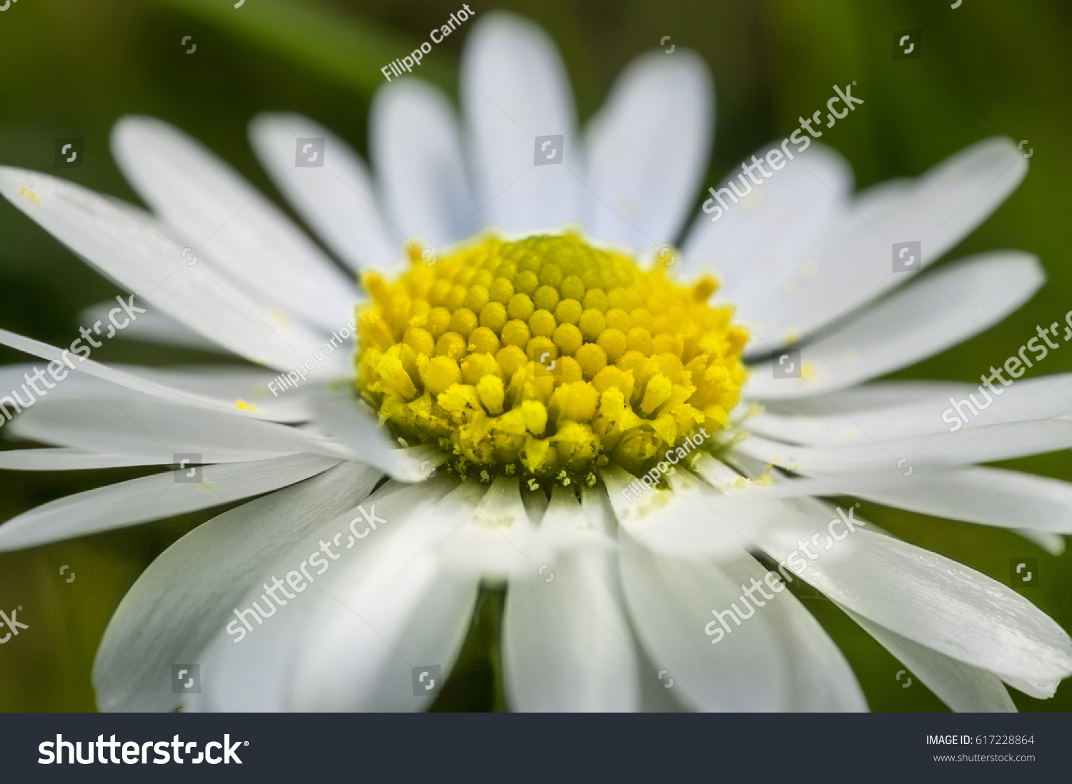 Daisy Field Closeup Shot A Bright Yellow Basket Of Flower With