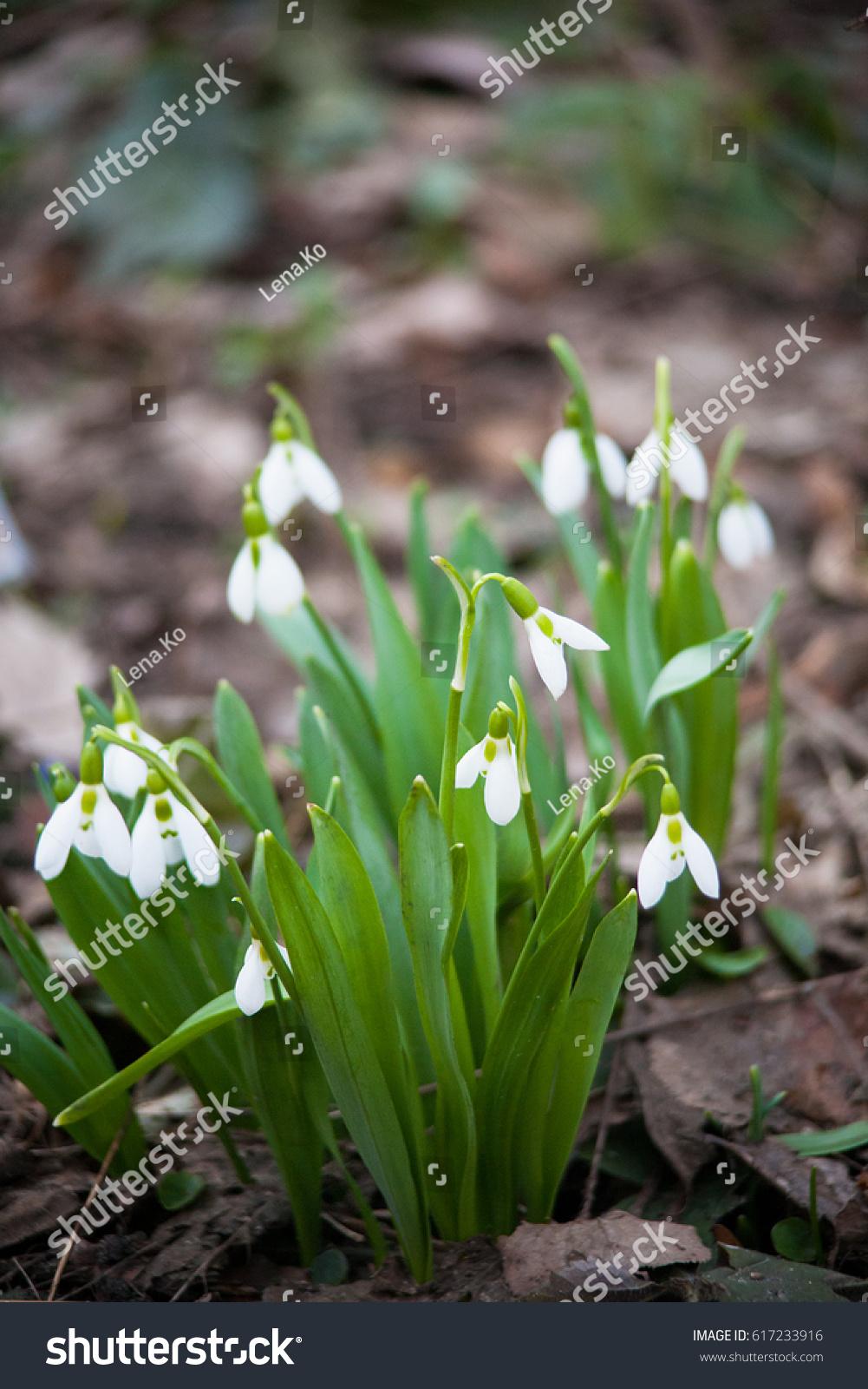 First Spring Flowers Ez Canvas