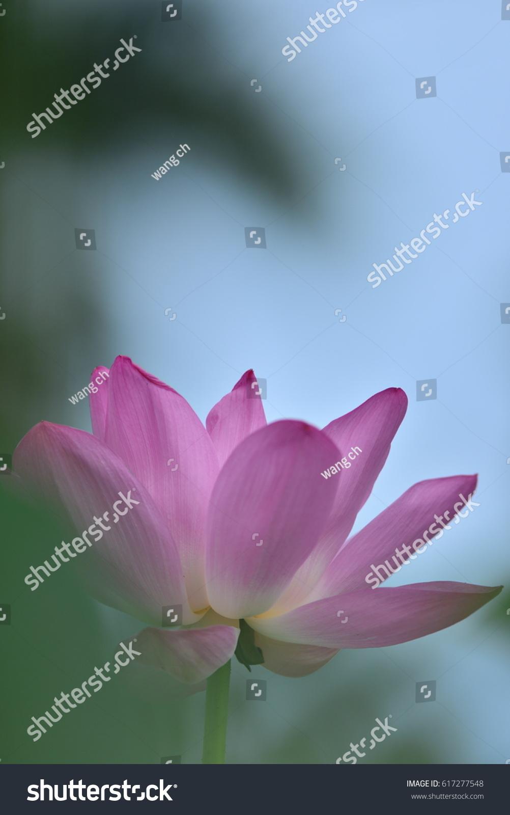 Lotus Bloom In The Delta Of The Volga Russia Ez Canvas