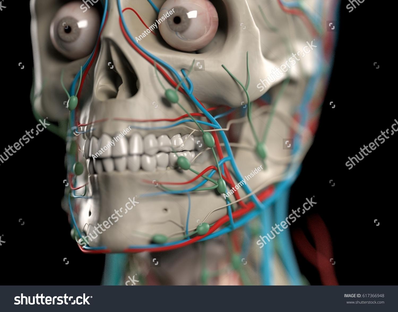 Human Anatomy Skull Teeth Jaw Eyes Stock Illustration 617366948 ...