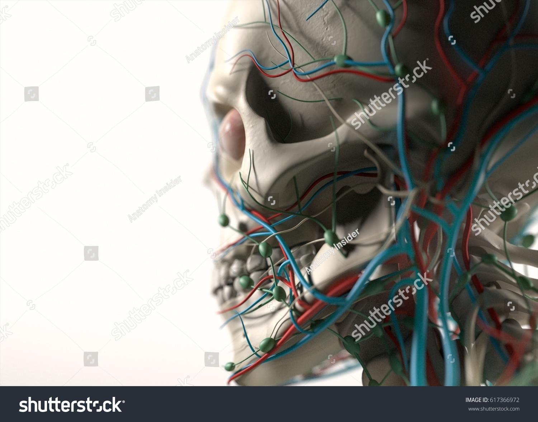 Human Anatomy Jaw Cheek Skull Side Stock Illustration 617366972 ...