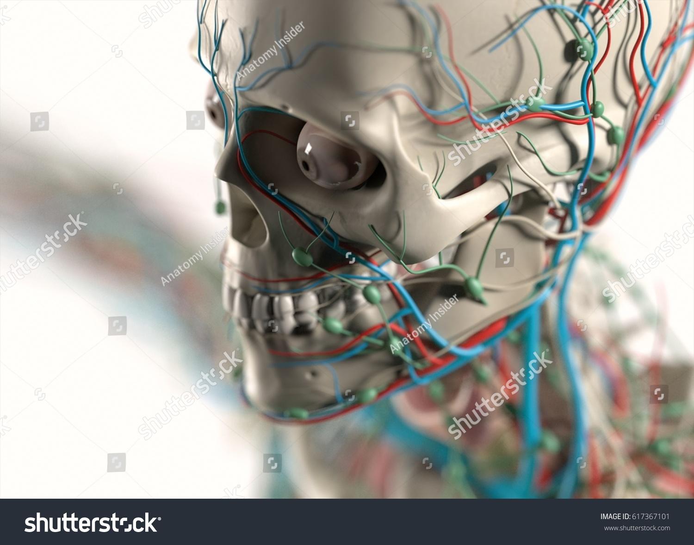 Human Anatomy Face Cheek Skeletal Organs Stock Illustration ...