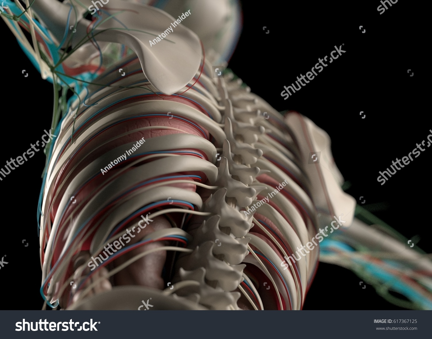 Human Anatomy Spine Rib Cage Scapula Stock Illustration Royalty