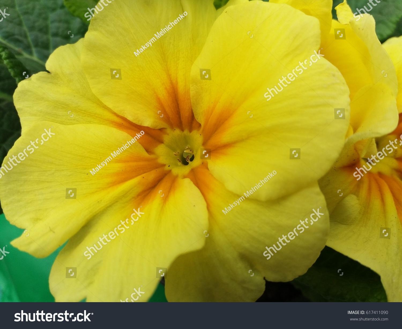 Yellow Primrose Flower Scientific Name Primula Stock Photo Edit Now
