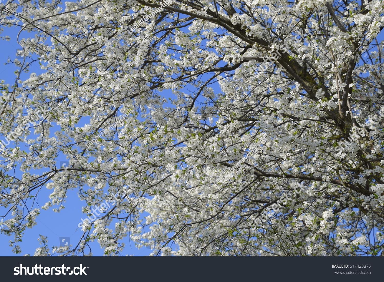 White flowering tree blossoms on a blue sky ez canvas izmirmasajfo
