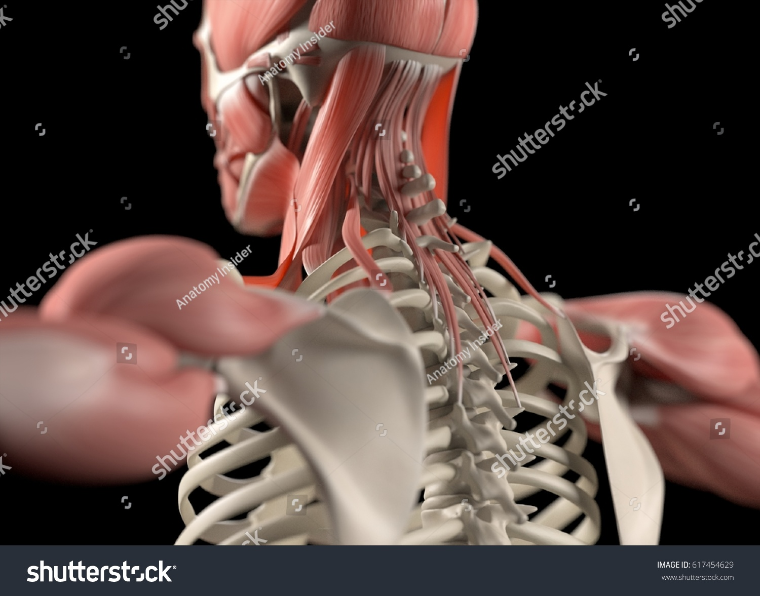 Human Anatomy Body Spine Back Neck Stock Illustration 617454629