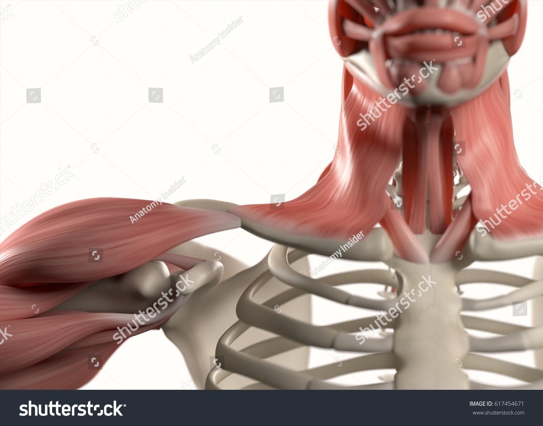 Human Anatomy Body Shoulder Neck Sternum Stock Illustration ...