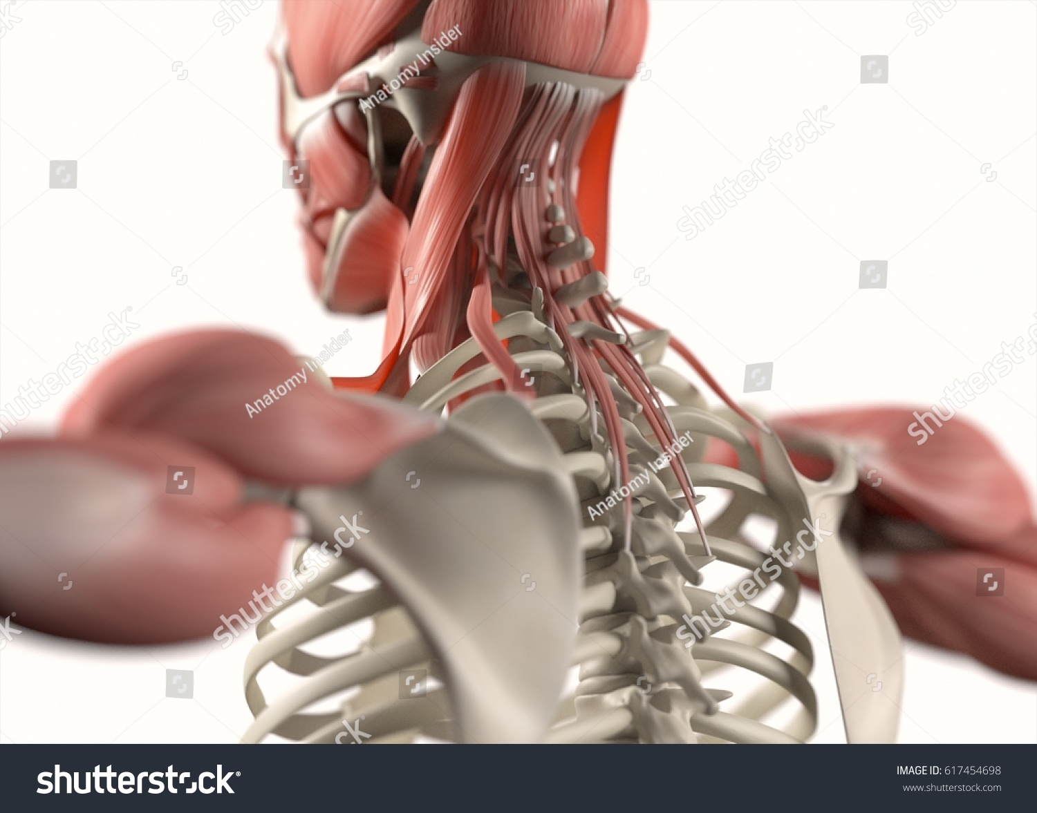 Human Anatomy Body Spineback Neck Scapula Stock Illustration