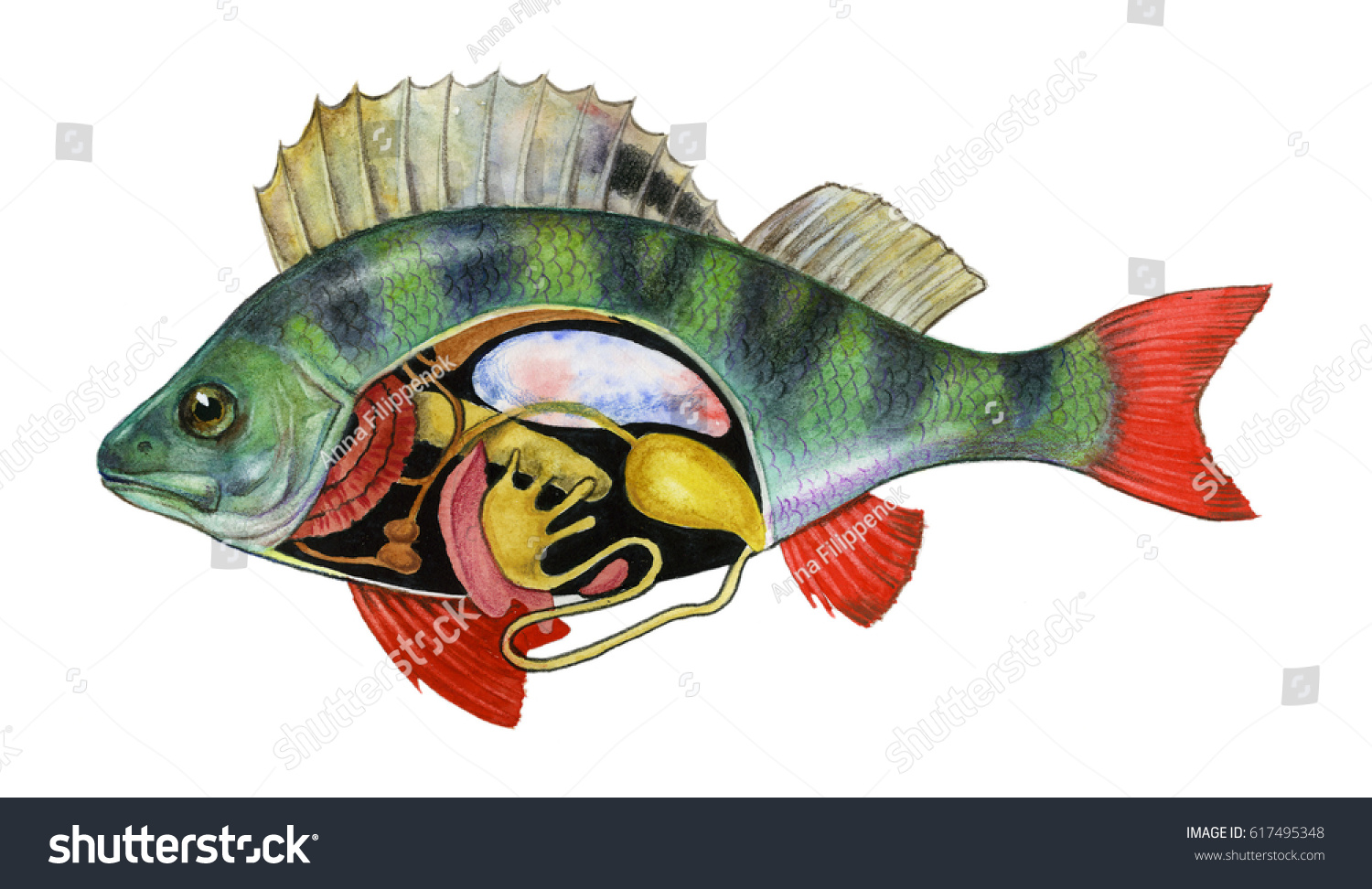 Fish Anatomy Biology Watercolor Hand Drawing Stock Illustration ...
