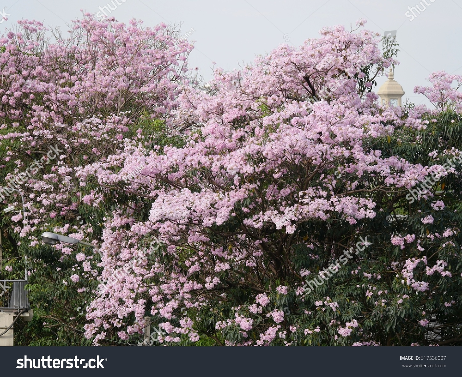 Beautiful Pink Flowers On Trees Ez Canvas