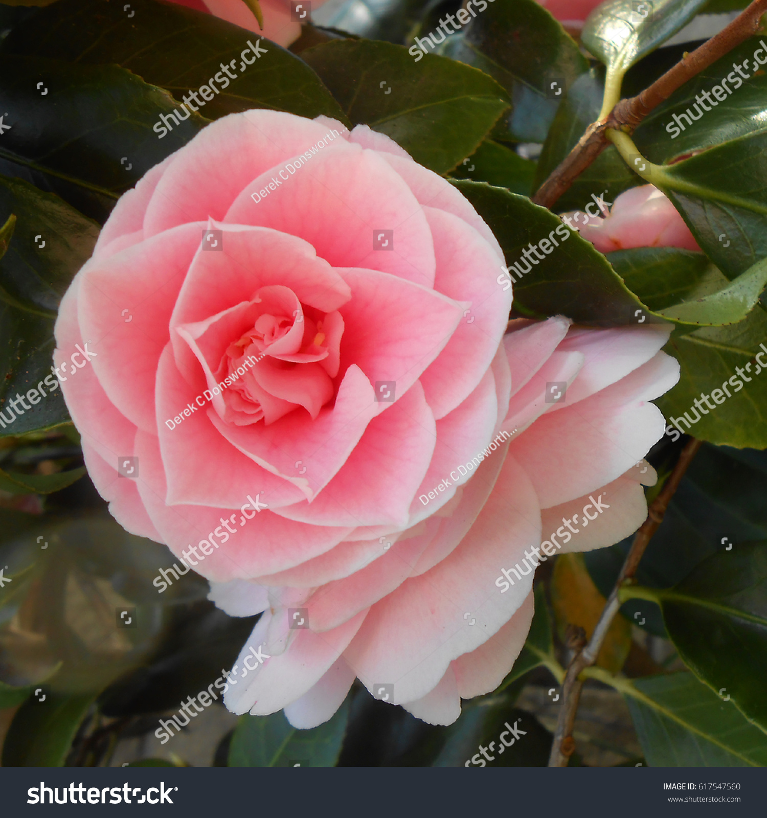 Royalty Free Camilliea Beautiful Flower Called 617547560 Stock