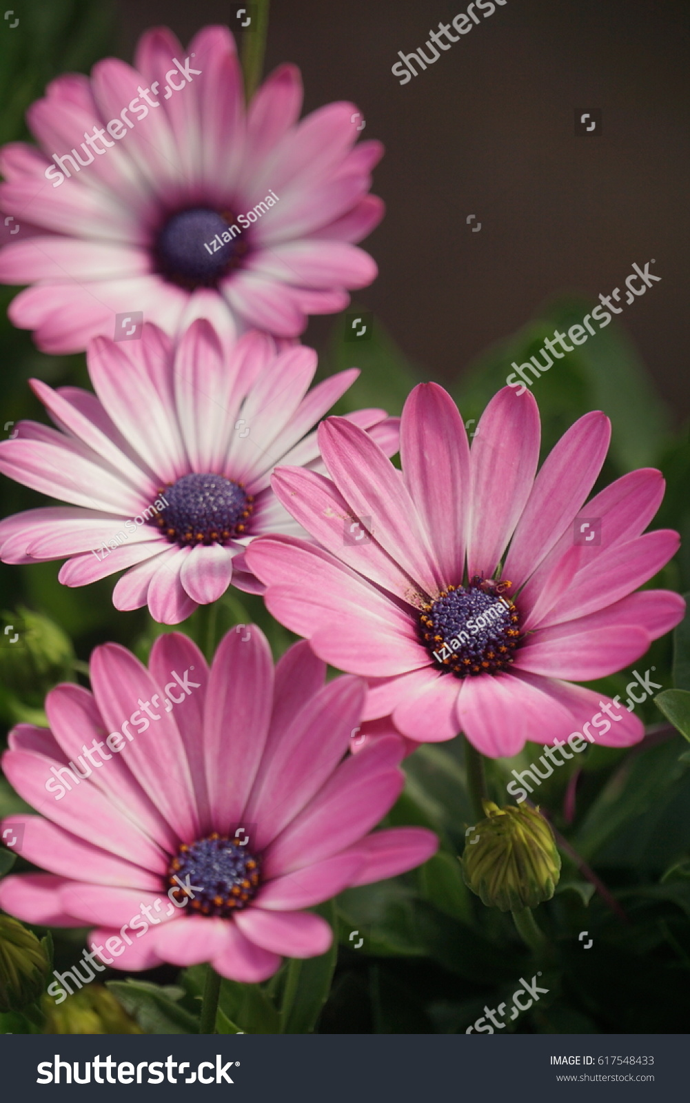 Daisy Flower Pink Color Stock Photo Royalty Free 617548433
