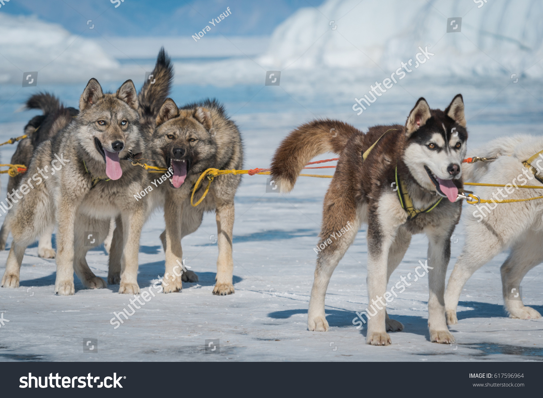 Siberian Husky Sled Dog Lake Baikal Stock Photo Edit Now 617596964