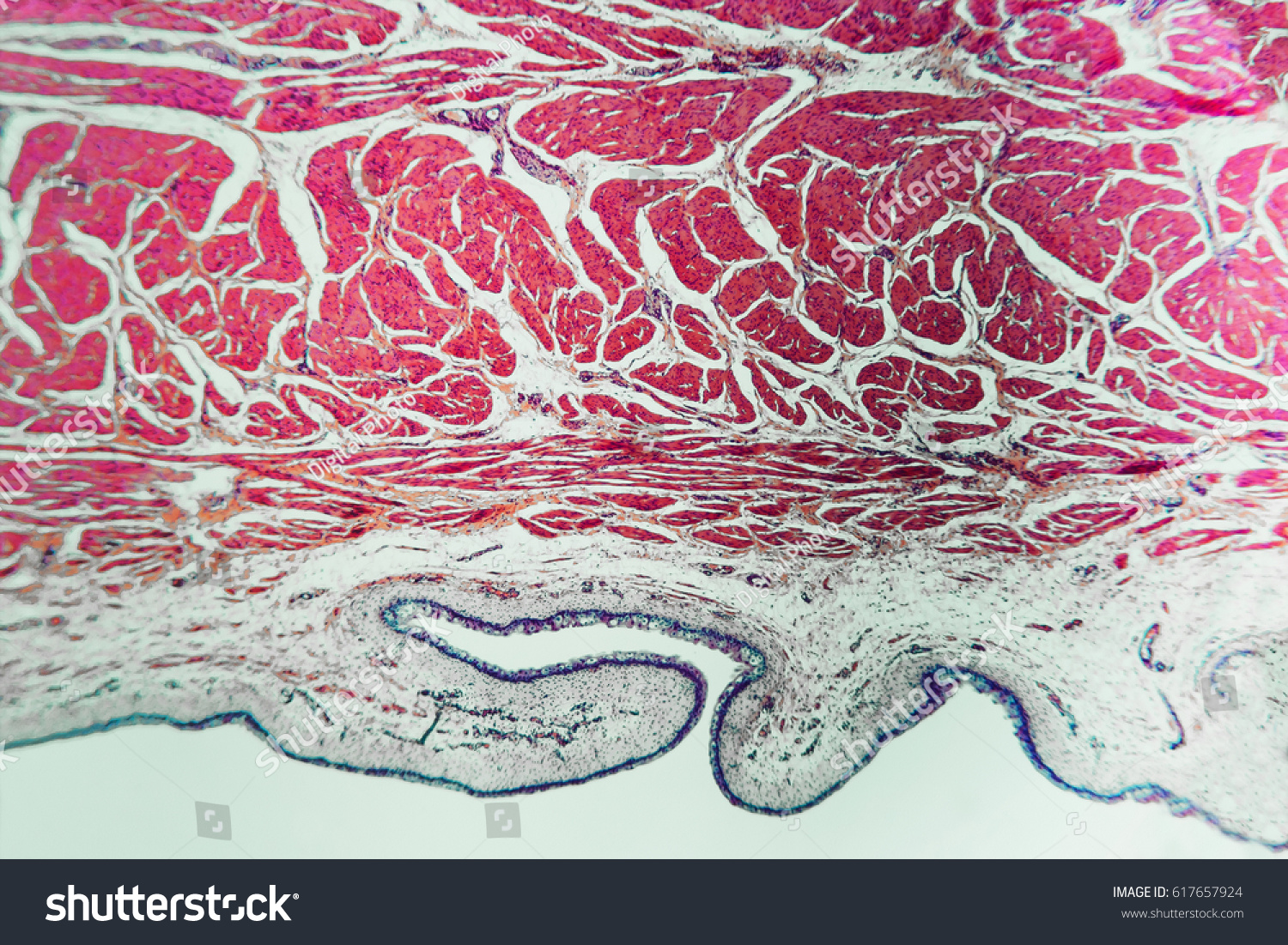 Medical Anatomy Bladder Cat Abstract Science Stock Photo Edit Now