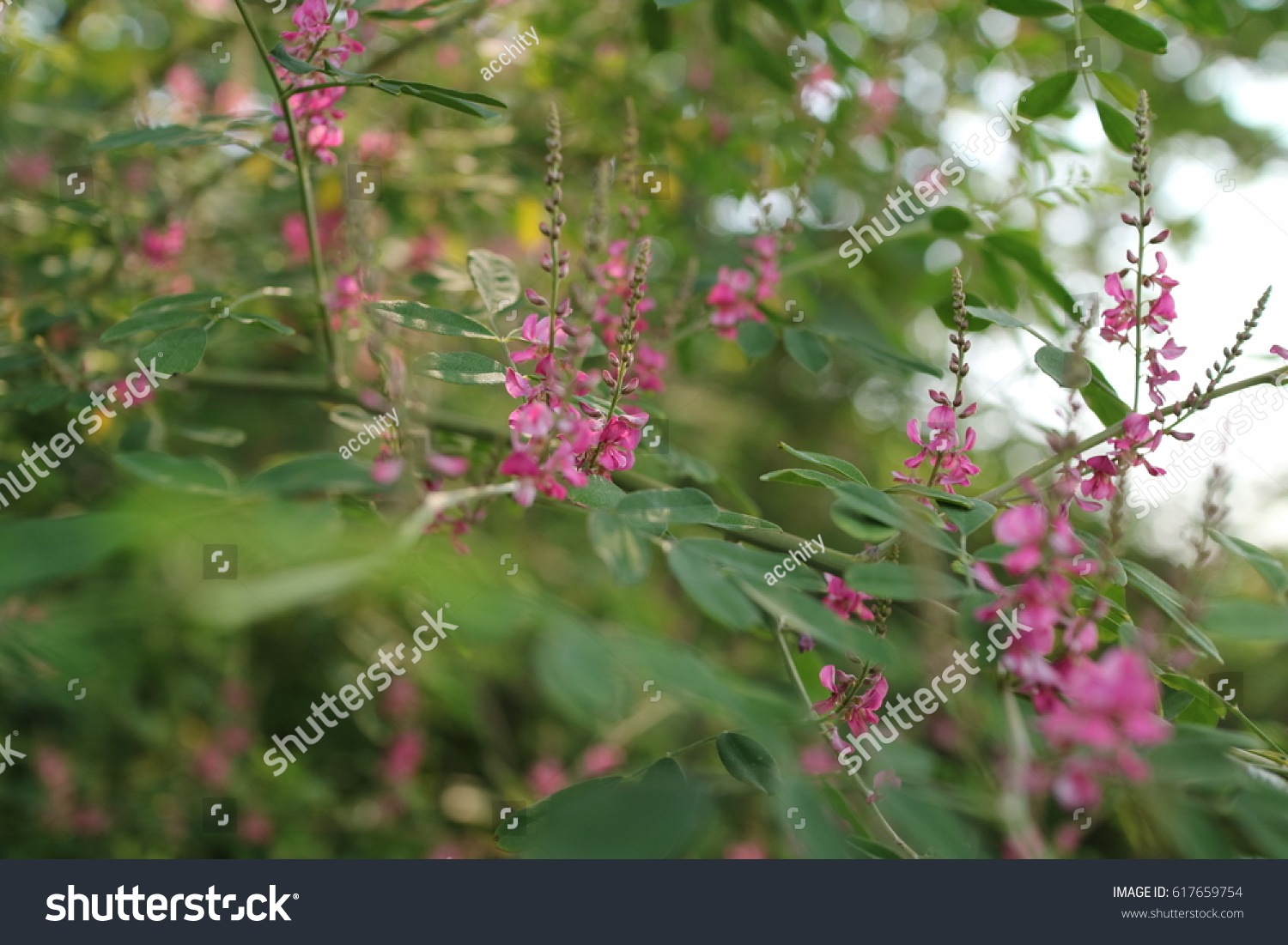 Flowers Name Of Indian Fruit Indigofera Pseudotinctoria Ez Canvas