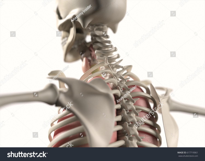 Anatomy Body Human Spine Neck Shoulder Stock Illustration 617719061