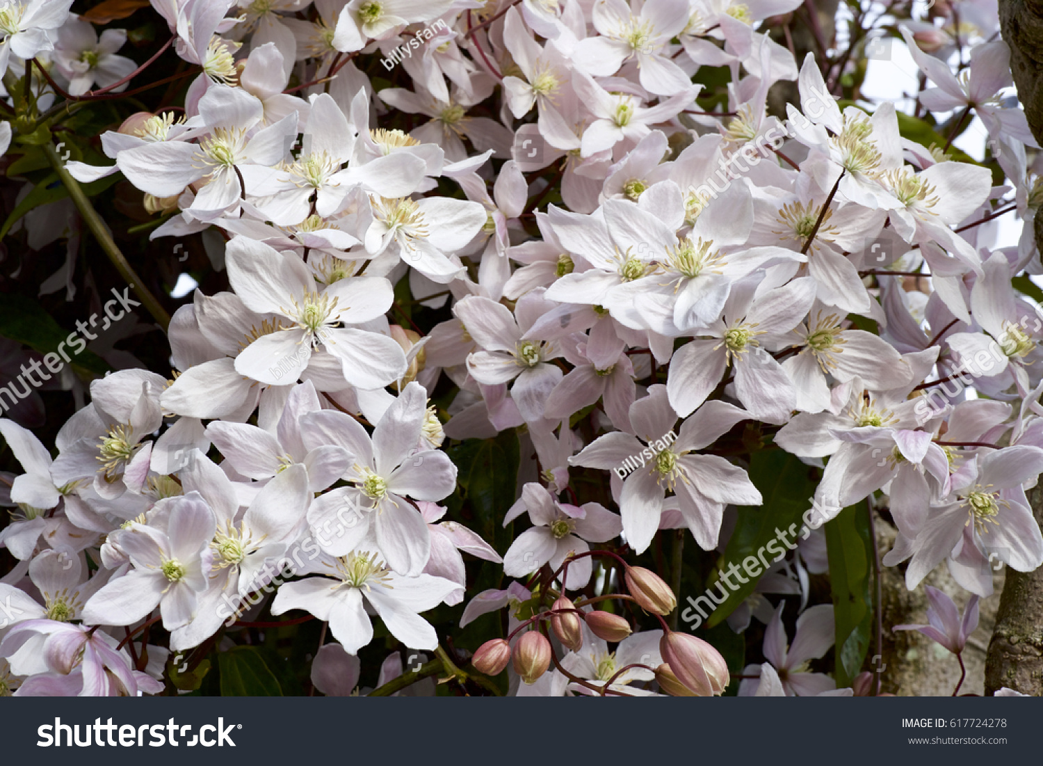 White Clematis Blooming In Spring Ez Canvas