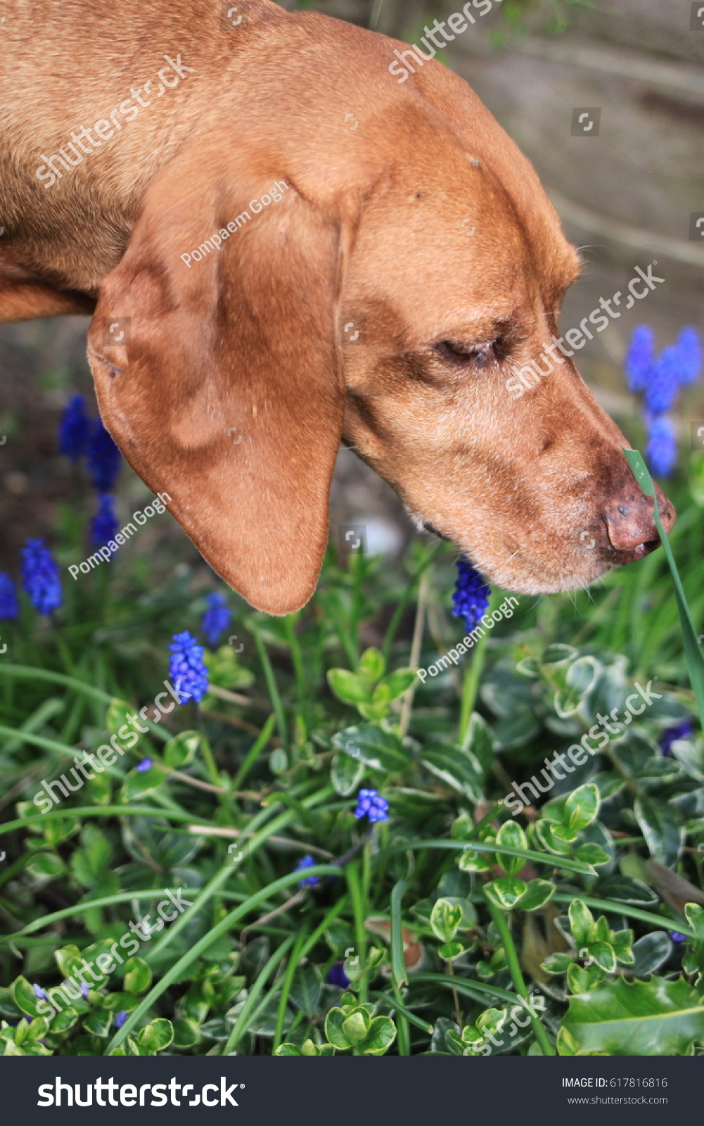 Hungarian Vizsla Dog Smelling Spring Flowers Stock Photo Edit Now