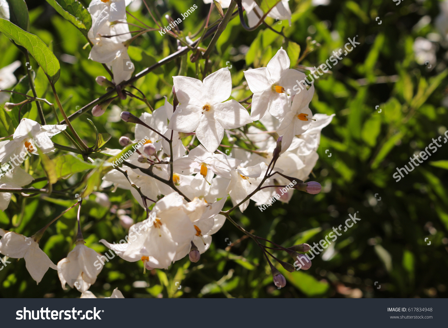 Twig Of Apple Tree With Large Pink White Flowers And Gentle Leaves