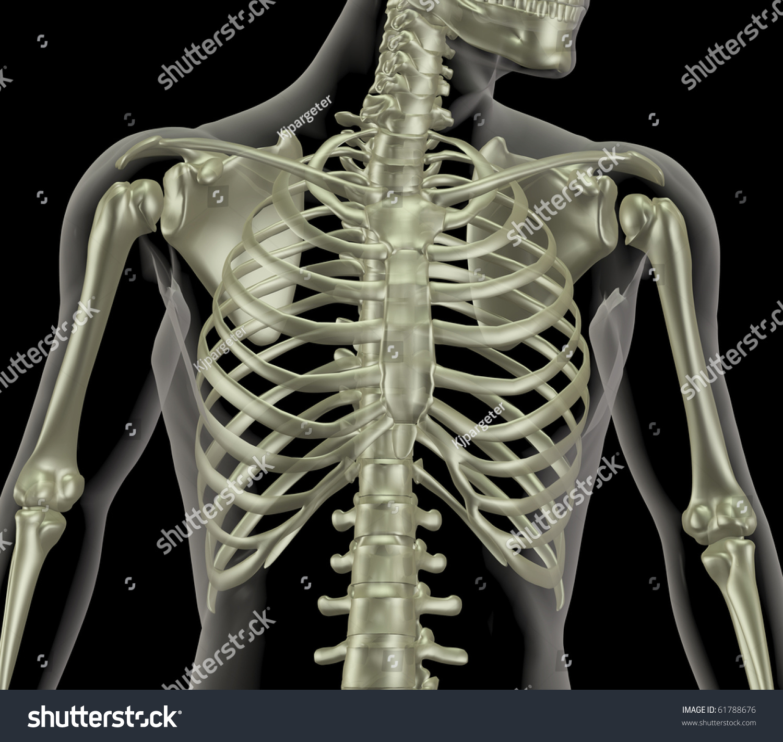 3 D Render Skeleton Showing Close Rib Stock Illustration 61788676