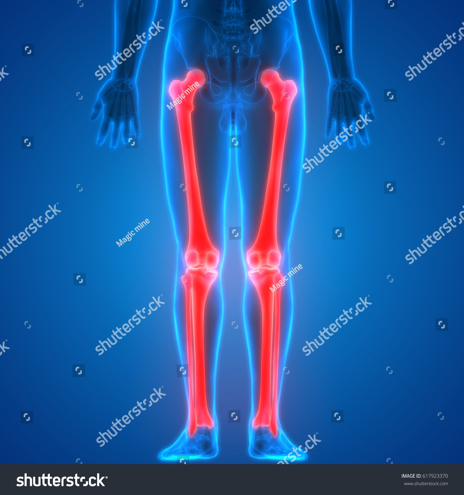Human Skeleton Anatomy Femur Tibia Fibula Stock Illustration ...