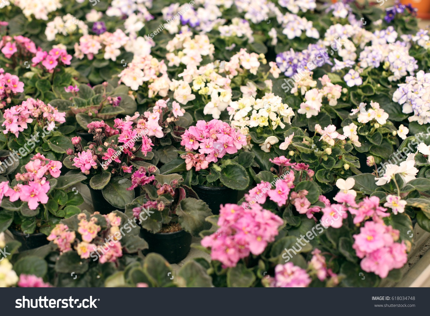 Beautiful Flowering Houseplants Flowers In The Greenhouse In The