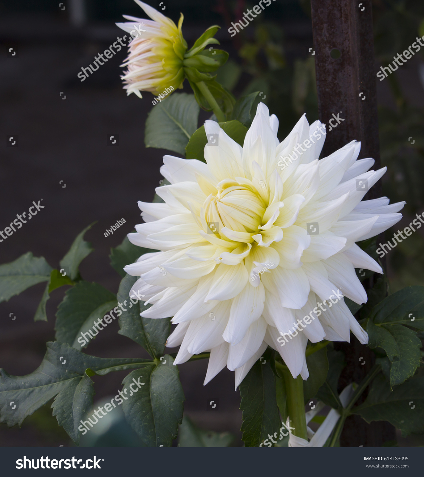 Double white dahlia flowers genus bushy stock photo edit now double white dahlia flowers a genus of bushy tuberous herbaceous perennial plants in bloom izmirmasajfo