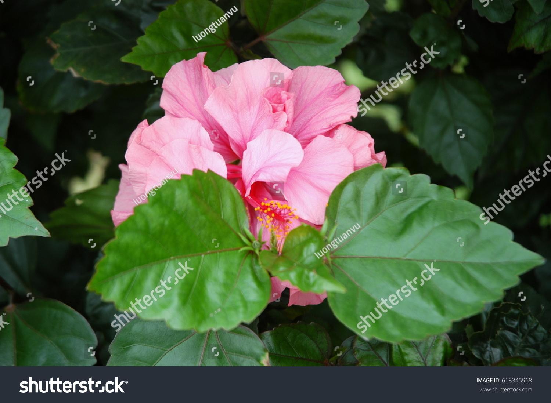 Hibiscus pink double flower bloominghibiscus rosasinensis stock hibiscus pink double flower bloominghibiscus rosa sinensis izmirmasajfo Image collections