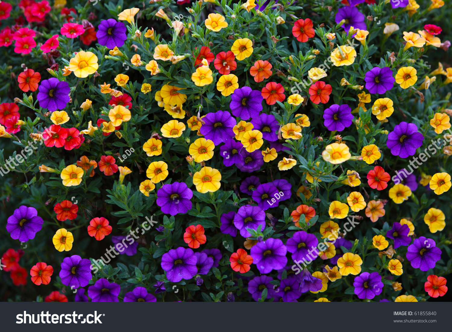 Petunias flowers different colors natural background stock for What makes flowers different colors
