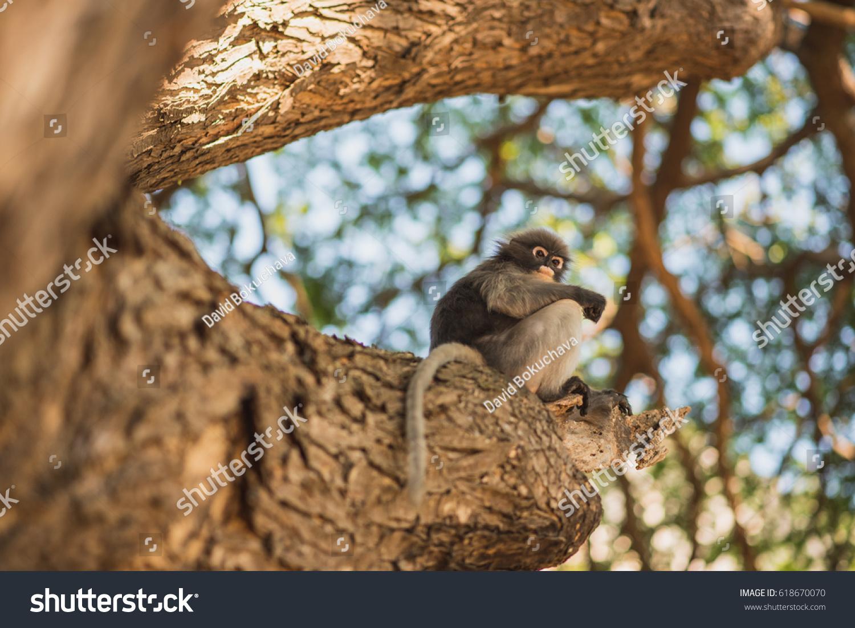 stock-photo-dusky-leaf-monkey-trachypith