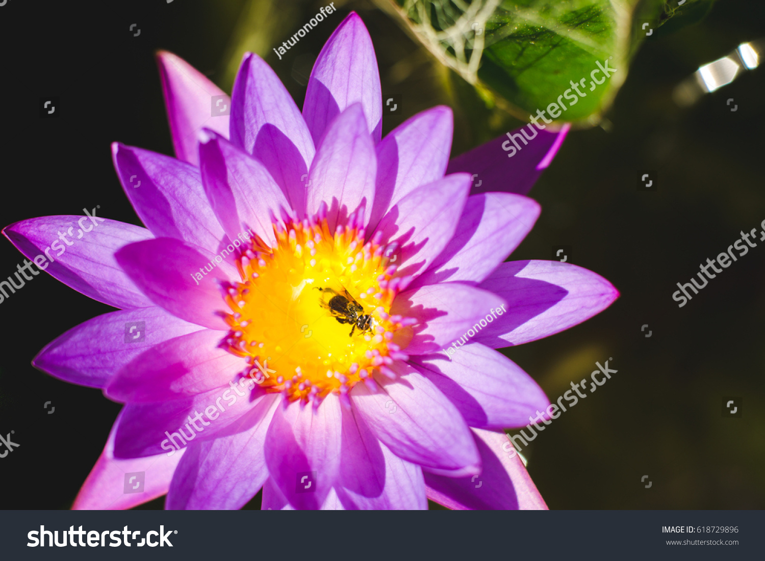 Close up water lily with dead bee on pollen ez canvas id 618729896 izmirmasajfo