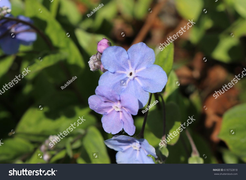 Blue And White Cappadocian Navelwort Flower In St Gallen
