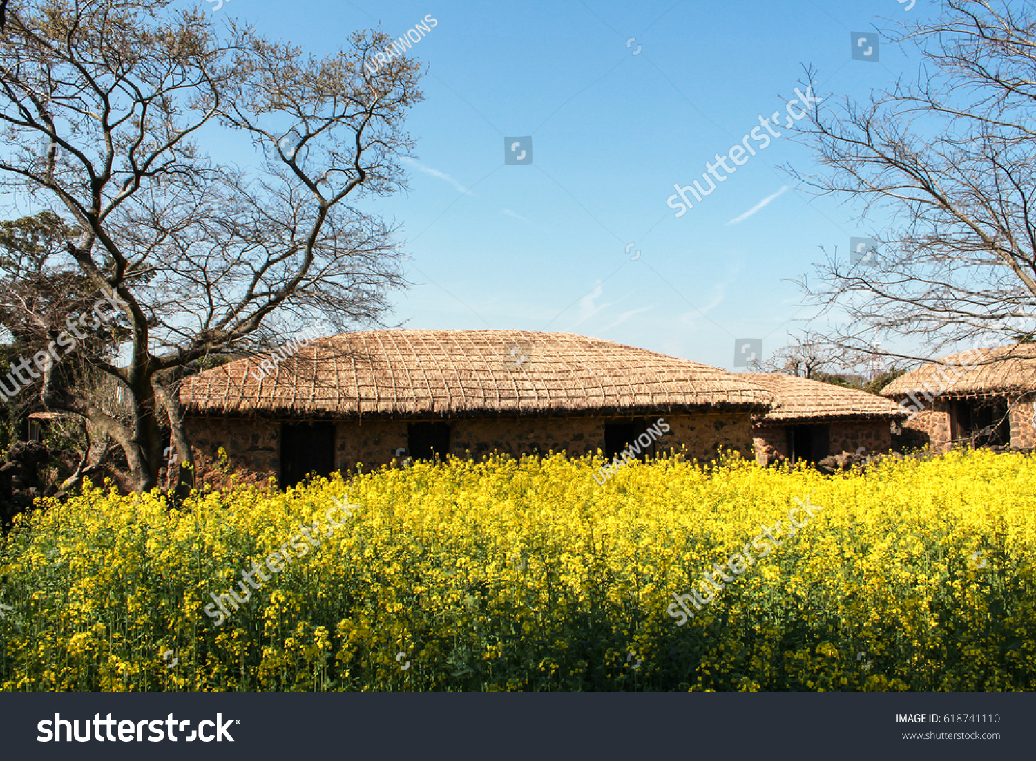 View Yellow Canola Flowers Front Traditional Stock Photo Image