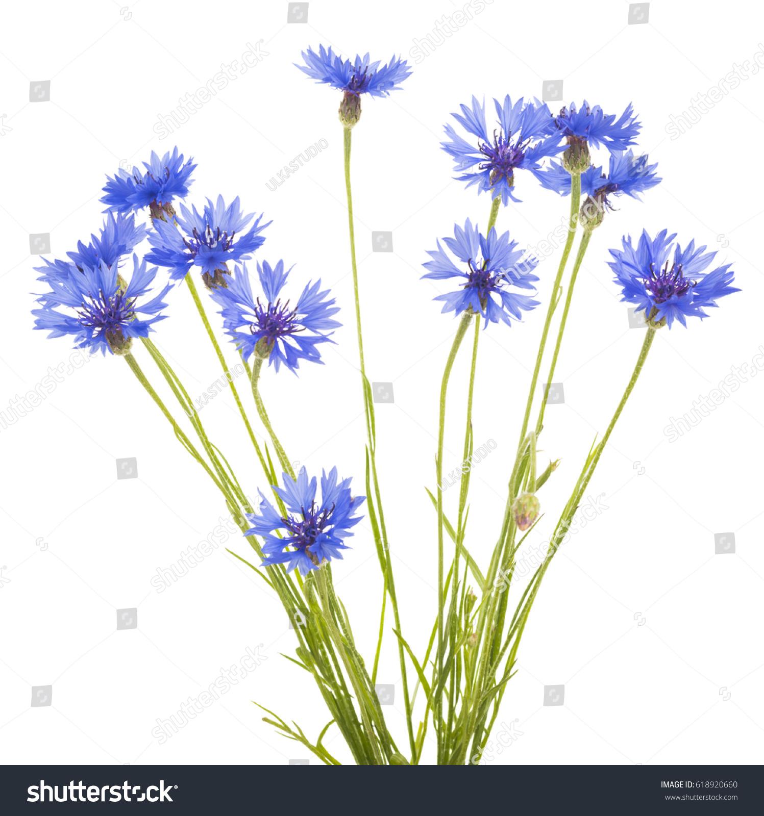 Cornflower Bouquet Of Wild Blue Flowers Isolated Ez Canvas