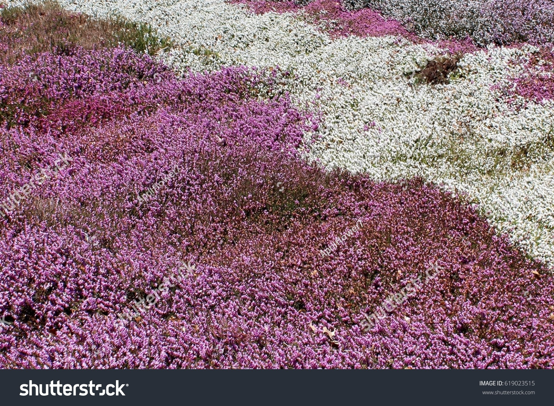 Pink White Heather Flowers Spring Sunshine Stock Photo Edit Now