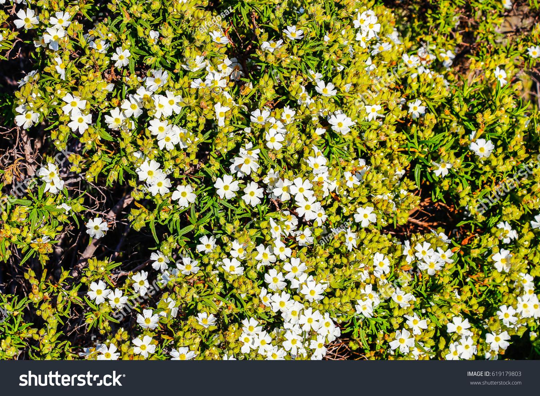 White Rockrose Flower Mediterranean Spring Cistus Stock Photo 100