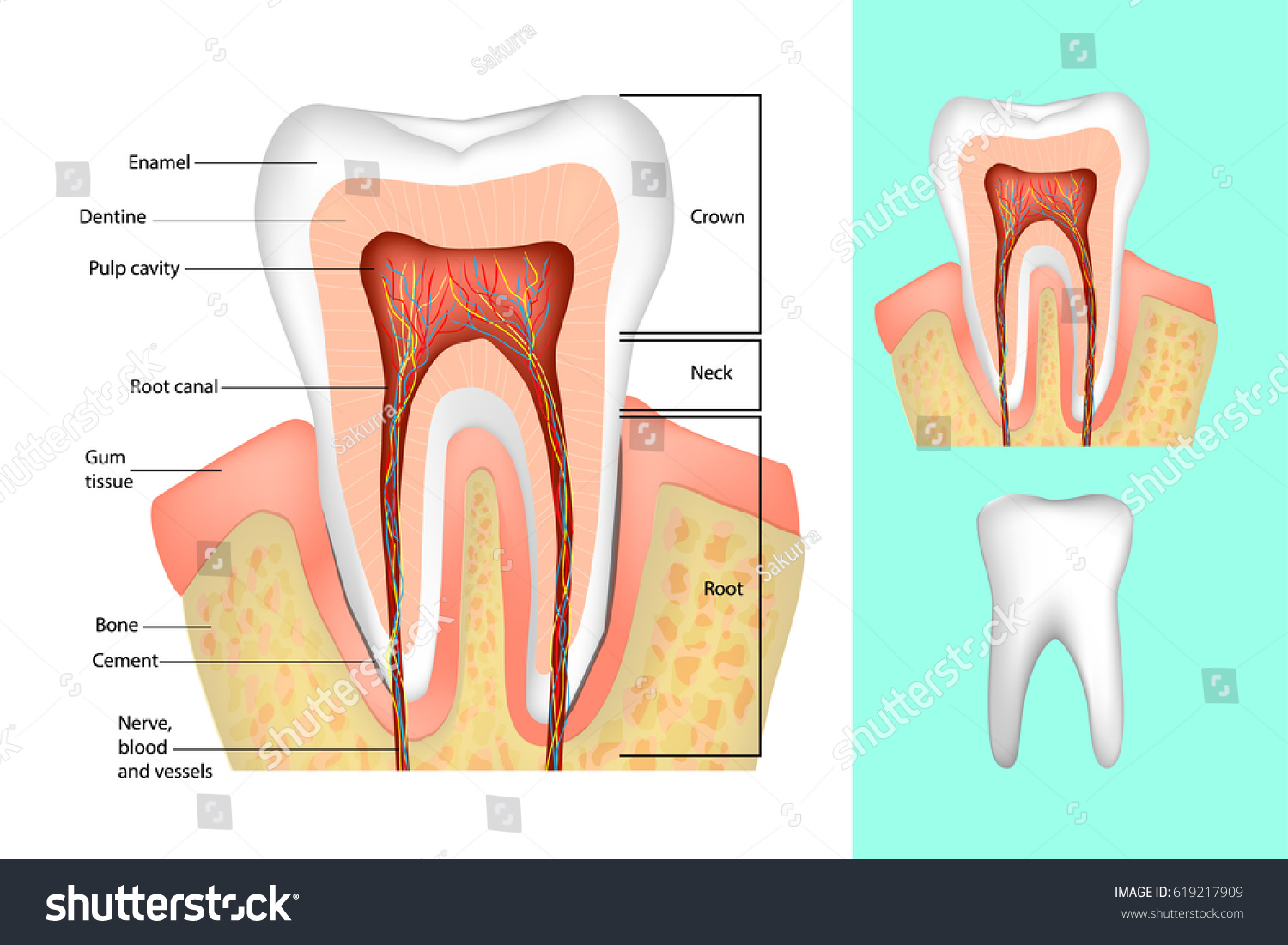 Tooth Structure Medical Diagram Structure Inside Stock Vector 2018